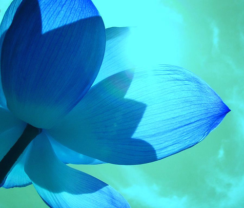 Beautiful Light Blue Bedrooms: Lotus Flower- Symbol Of Purity And Great Beauty-Buddhism