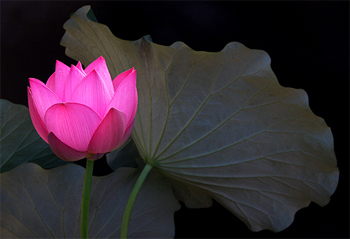 Lotus Flower Symbol Of Purity And Great Beauty Jendhamuni