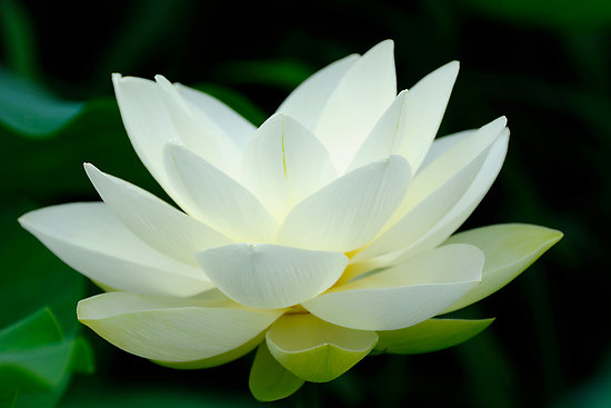 Lotus flower symbol of purity and great beauty jendhamuni white lotus mightylinksfo