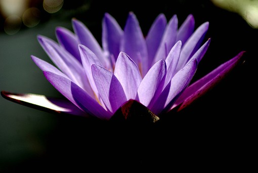 lotus flowerbuddhism, Beautiful flower