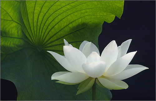 Lotus flower symbol of purity and great beauty buddhism white lotus mightylinksfo Image collections