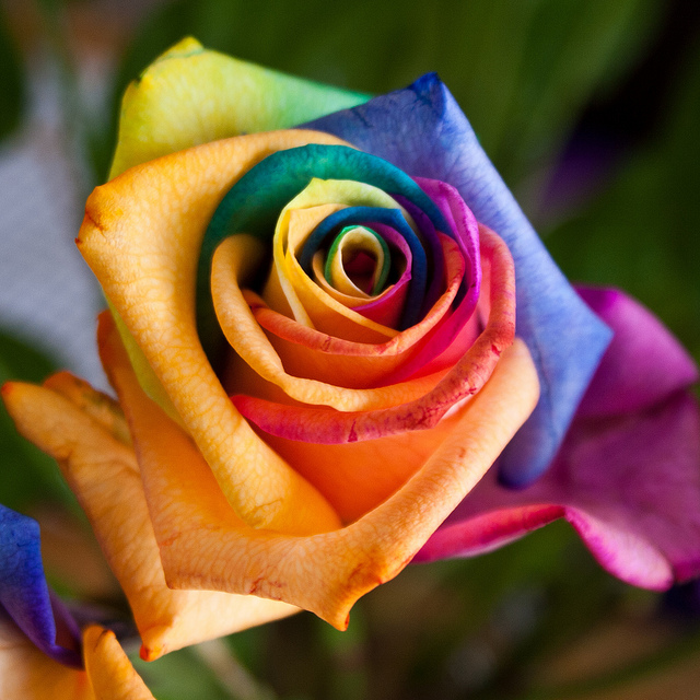 Rainbow roses or happy roses buddhism for Pictures of rainbow roses