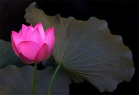 lotusflower-275x188