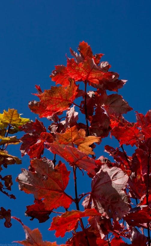 Maple Red. Photo credit: Randy Neufeldt