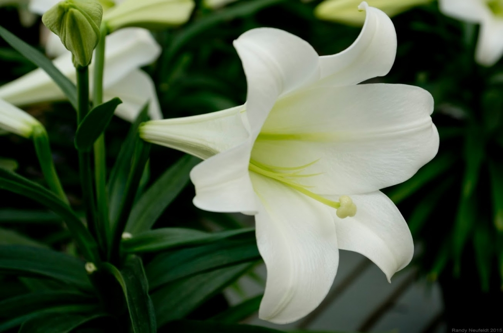 White Lily Closeup. Photo credit: Randy Neufeldt