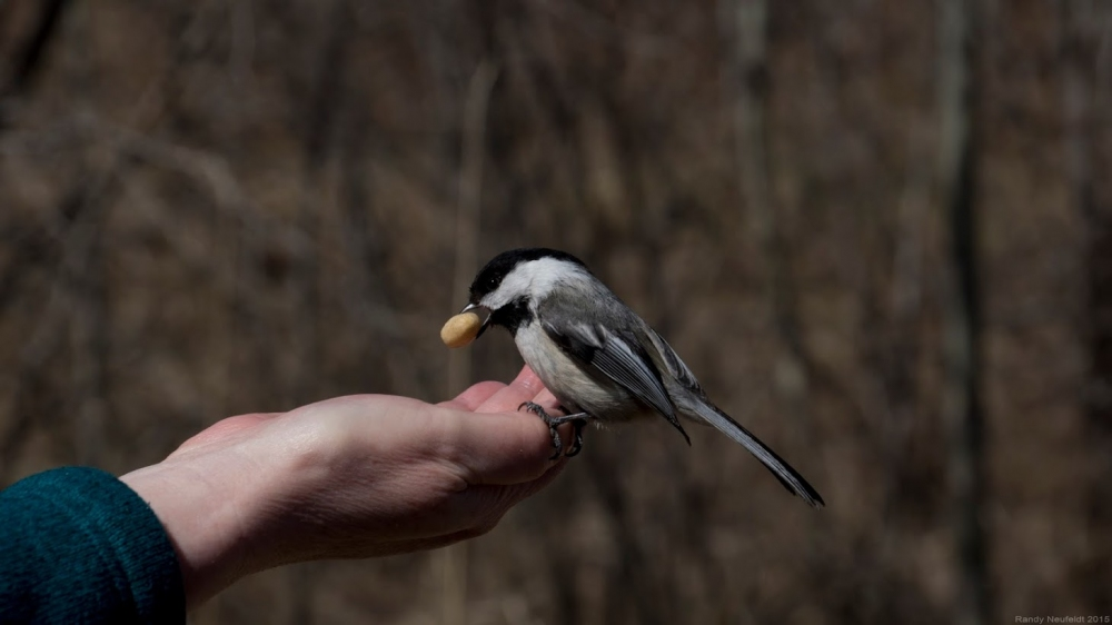 Black Headed Chickadee. Photo credit: Randy Neufeldt