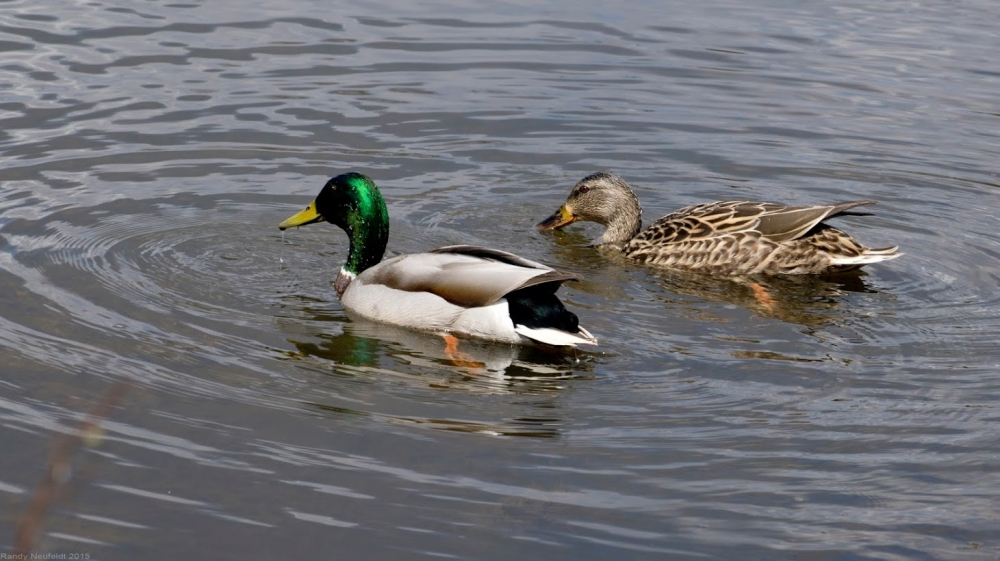 Mallard Couple. Photo credit: Randy Neufeldt