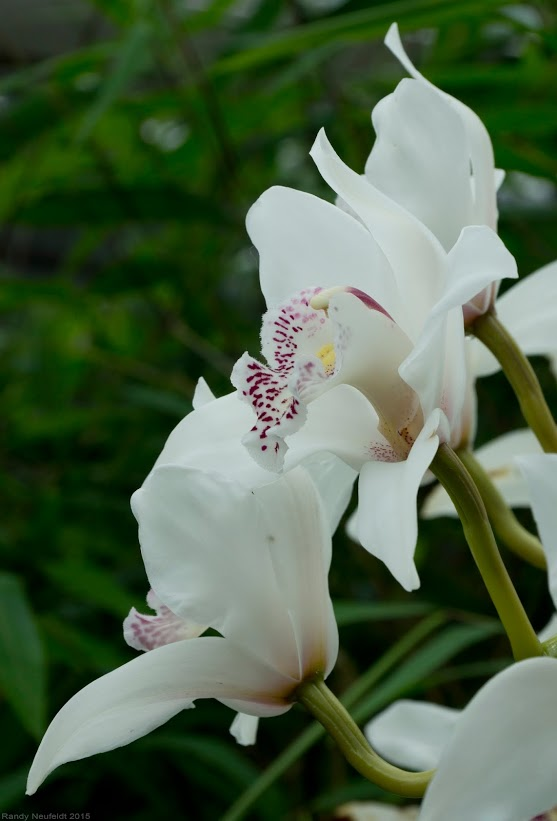 White Orchids. Photo credit: Randy Neufeldt
