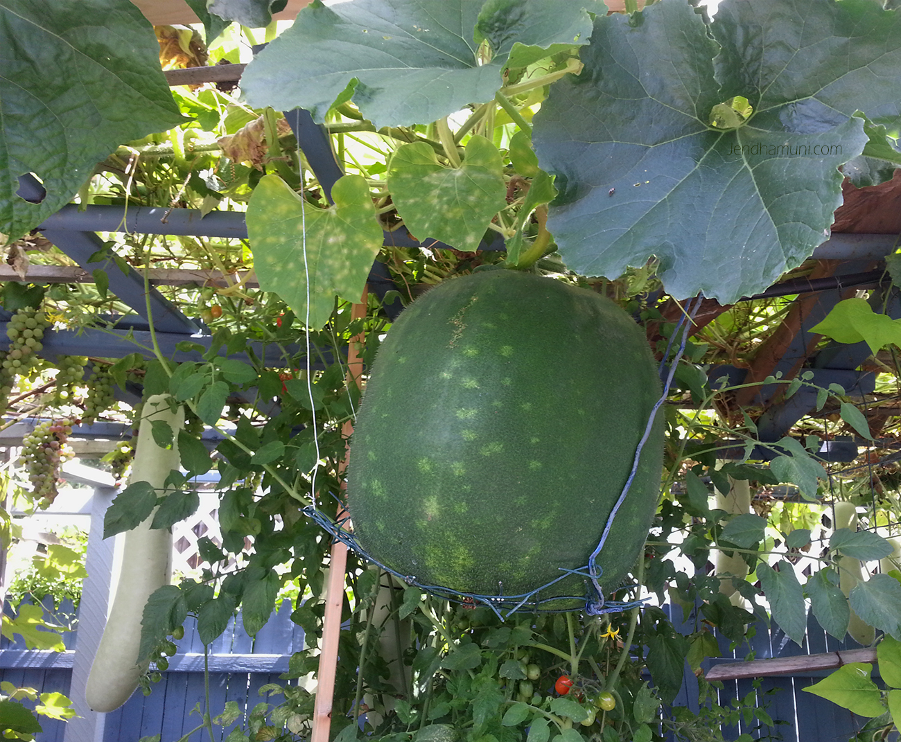 Winter melon in Veggie garden 082915