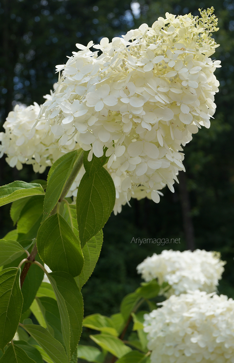 Common Name Wild or Smooth Hydrangea. Botanical Name Hydrangea arborescens.
