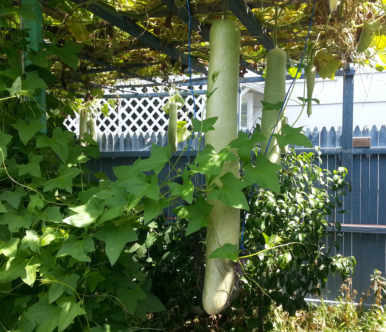 long bottle gourd garden082915